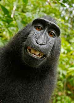 selfie-monkey-self-portrait-macaca-nigra-50582.jpeg